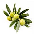 Extrakt aus Oliven
