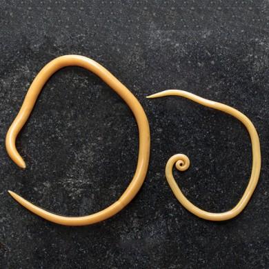 Was tun bei Bandwürmern?